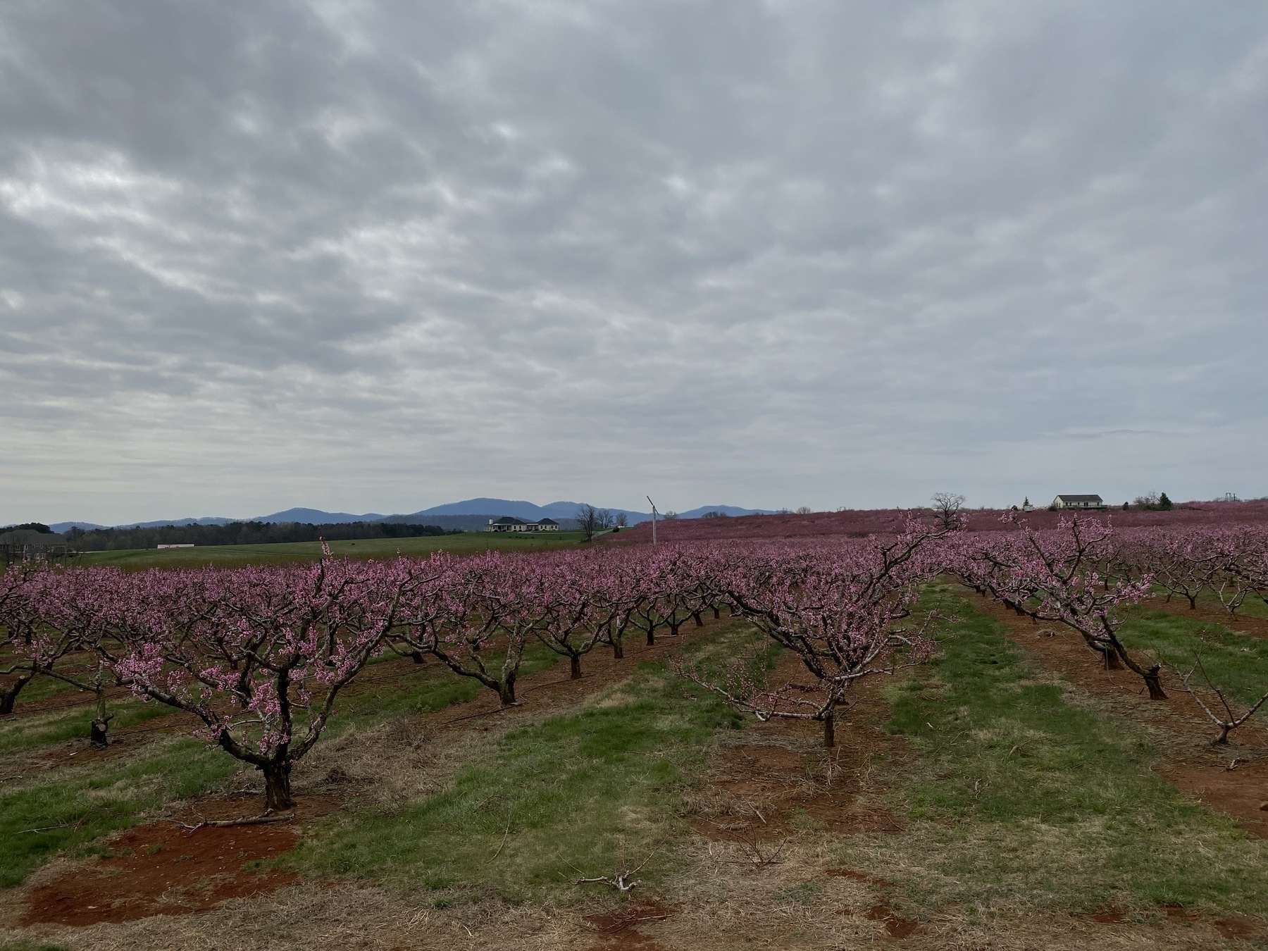 an orchard of blooming peach trees with the mountains in the background beneath a cloudy sky